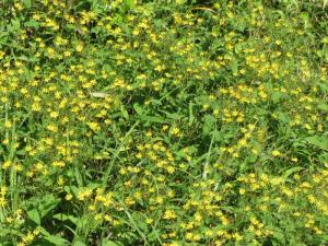 小さい黄色い花