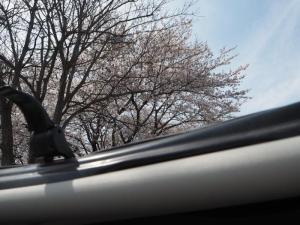 屋根越しの桜